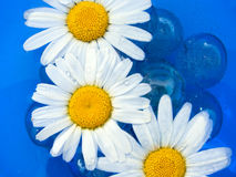 Delicate Chamomiles on Water. Three delicate chamomiles floating on sky-blue water Stock Photo