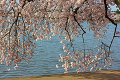 Delicate cherry blossom branches near the Tidal Basin waters. Royalty Free Stock Photo