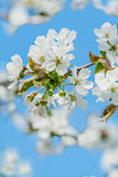 Delicate cherry flowers. On blue sky background Royalty Free Stock Photo