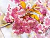 Delicate cherry tree flower in back light Stock Images