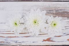 Delicate chrysanthemum flowers on wooden background. stock photography