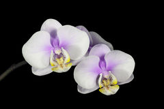 Delicate Colored Flowers of the Phalaenopsis Orchi Royalty Free Stock Photos