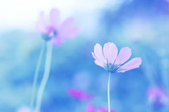 Delicate cosmos flowers on a blue background with toning. Soft selective focus.  royalty free stock image