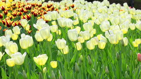 Delicate couloured tulips stock video footage