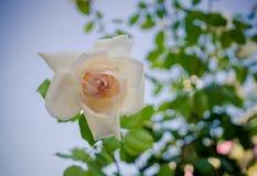 Delicate cream rose in the summer garden Royalty Free Stock Photos