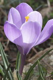 Delicate crocus. Crocuses are perennials that flower early spring Stock Photo