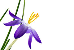 Delicate crocus blossom with blue petals and yellow stamens isol Royalty Free Stock Photography