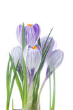 Delicate crocuses isolated on a white Royalty Free Stock Photo