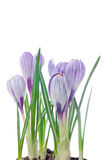 Delicate crocuses isolated on a white Stock Photo