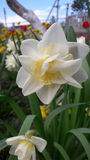 Delicate  daffodil Royalty Free Stock Photography