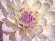 Delicate dahlia Stock Images