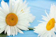 Delicate daisies on a blue cloth. Large chamomile Royalty Free Stock Images