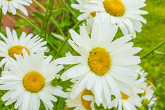 Delicate daisies. The garden blossomed gentle chamomile flowers Royalty Free Stock Photography