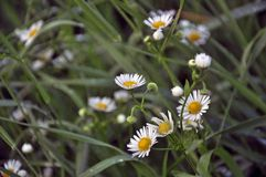 Delicate daisies in the spring. royalty free stock image