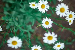 Delicate daisy flower close up royalty free stock image
