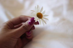 Delicate daisy. Delicate flower held in the hand Stock Photo
