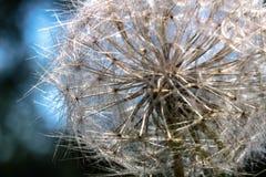 Delicate Dandelion Blue. Tuscany Italy Maremma Italy Biologic Production Stock Image