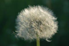 Delicate dandelion flower royalty free stock photo
