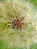Delicate dandelion seed head Stock Photos