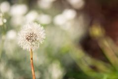 Delicate Dandelion Seedhead stock image