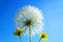 Delicate dandelion with seeds on background of bright blue sky. Stock Images