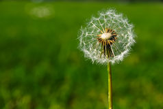 Delicate dandelion in the wind Stock Photo