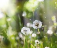 Delicate dandelions with lights, sparkle and sunlight Stock Photos