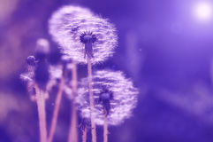 Delicate dandelions with a multicolored background of gentle tones. Selective soft focus. Delicate dandelions with a multicolored background of gentle tones Royalty Free Stock Photos