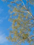 Delicate desert tree in Southwest USA Royalty Free Stock Photography