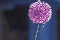 Delicate in Design. A delicate spiders web on a  beautiful summer flower (Purple Allium Royalty Free Stock Images