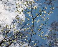 Delicate Dogwood Tree Flowers. Dogwood tree in bloom against a puffy white cloud sky Stock Images