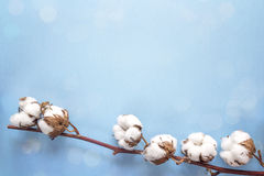 Delicate dried white cotton flowers on blue background. Copy spa stock image