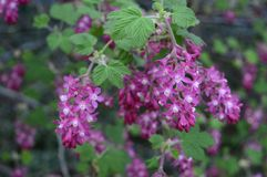 Delicate early flowers of Ribes sanguineum stock photos