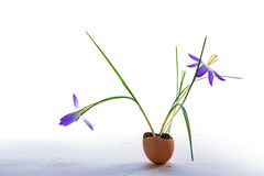 Delicate easter decoration, blue crocuses planted in eggshells, royalty free stock photography