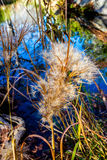 Delicate Feathery Seed Pods with Refection Pool Ba Stock Photography