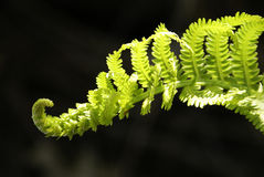 Delicate Fern Stock Images