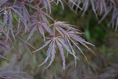 Delicate fern-like purple maple leaves. Delicate fern-like purple maple tree leaves stock photography