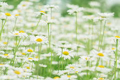 Delicate field chamomile. Many daisies. Royalty Free Stock Photography