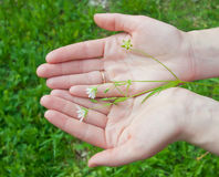 Delicate field flower in female hands. Stock Photos