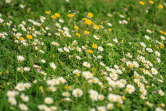 Delicate field of flowers. In the grass Royalty Free Stock Photo