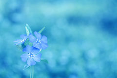 Delicate floral background in blue colors. Barvinok at on a beautiful background. Royalty Free Stock Images