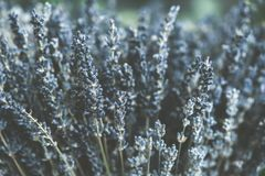 Delicate floral background close-up, lavender flowers toned. Photo royalty free stock photo