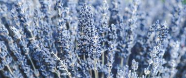 Delicate floral background close-up, lavender flowers toned. Photo royalty free stock photography