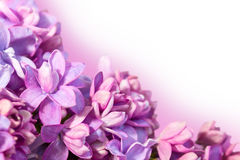 Delicate floral background with flowers of lilac. Stock Photography