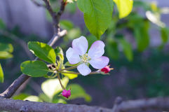 Delicate flower apple tree with buds on a branch among leaves. Close-up. Royalty Free Stock Image