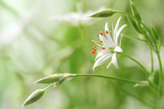 Delicate flower field. Delicate white flower field close-up Stock Photos