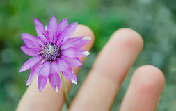 Delicate flower in a hand. Delicate field flower between fingers on a green background stock image