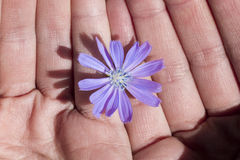 Delicate flower. Delicate purple flower between hands Royalty Free Stock Image