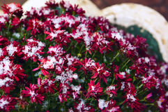 Delicate flower red chrysanthemum snowbound. Royalty Free Stock Photography