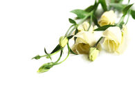 Delicate flower on a white Royalty Free Stock Photo